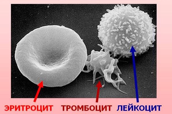 какими продуктами поднять лейкоциты