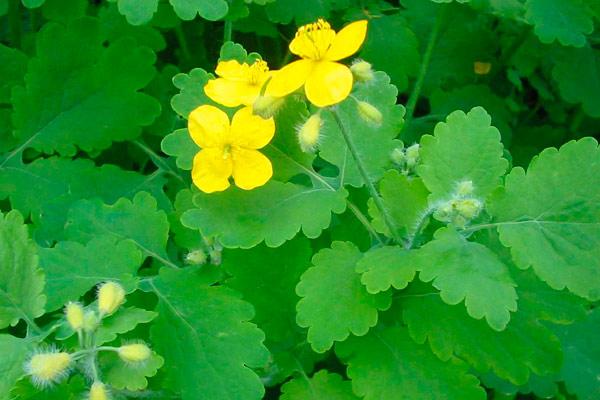 самые эффективные сборы трав для лечения миомы матки
