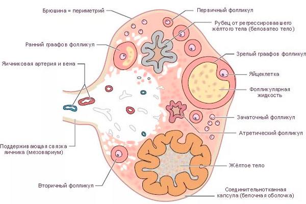 симптомы и лечение кисты
