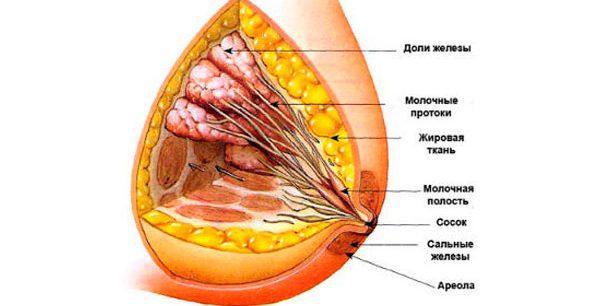 строение протоков железы
