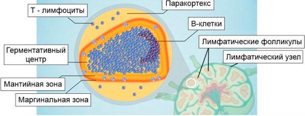 схема строения лимфоузла